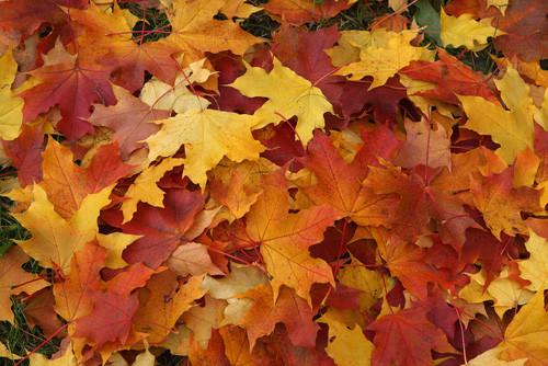 Audio por qu se caen las hojas de los rboles en oto o for Arboles que no pierden sus hojas en otono