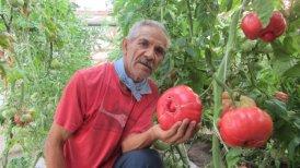 """La iniciativa de """"revivir"""" el tomate rosado, es impulsada y financiada por la Fundación para la Innovación Agraria, dependiente del Ministerio de Agricultura."""