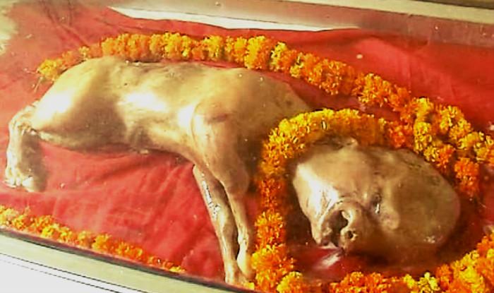 Ternero con cara humana provoca impacto y devoción en India ...