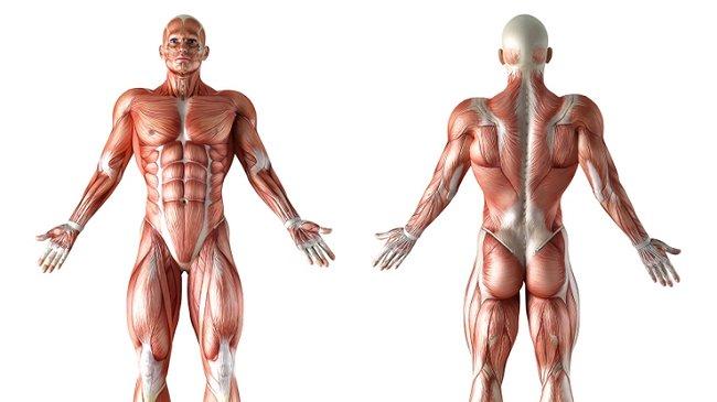 Investigadores descubren característica desconocida de la anatomía ...