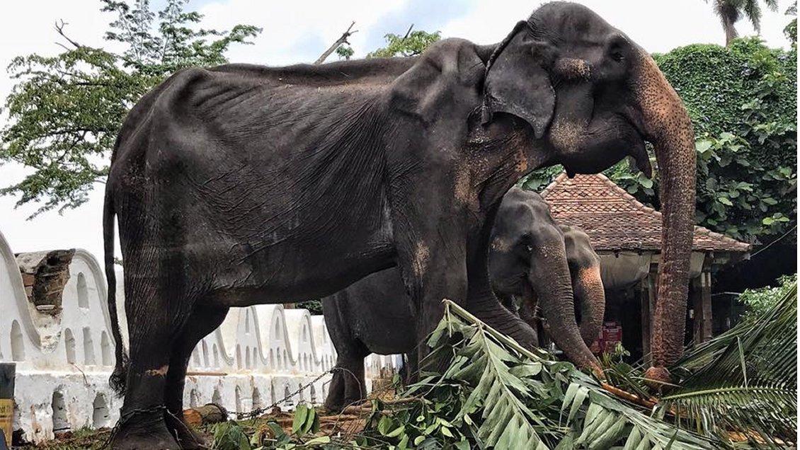 El horrible estado en que trabaja una elefanta de 70 años en Sri Lanka