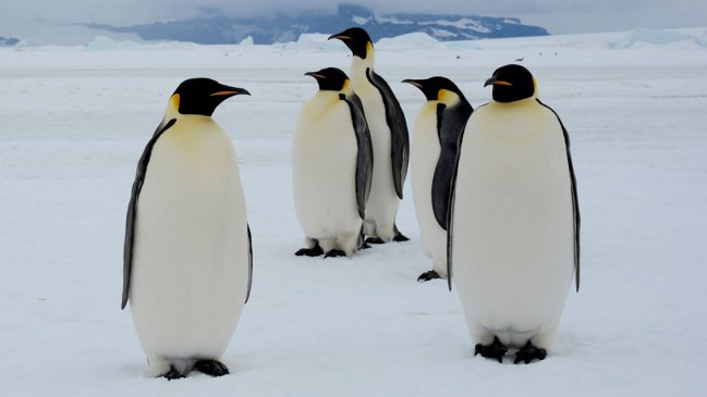 El calentamiento global amenaza con extinguir al pingüino emperador